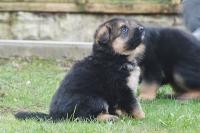 Красавеца немска овчарка Кученцата