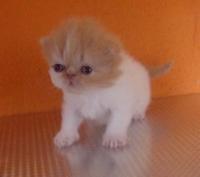 Персийски котенца.