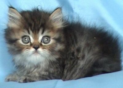 Персийско дългокосместо котенце