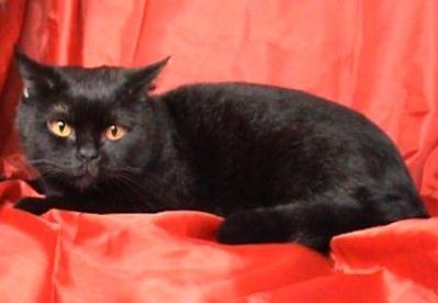 Подарявам черна британска котка