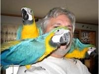 Говорейки ара папагали за продажба