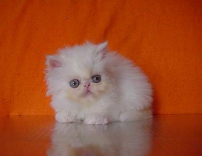 Бели персийски котета