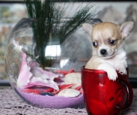 Mnogo sladursko mini chihuahua bebe kysokosmest