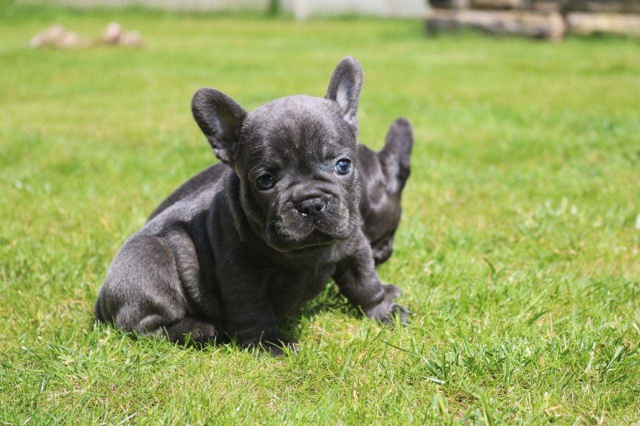 Blue френски булдог кученца