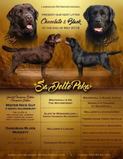 Лабрадор ретривър, шоколадови и черни кученца