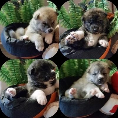 кученца Акита ину