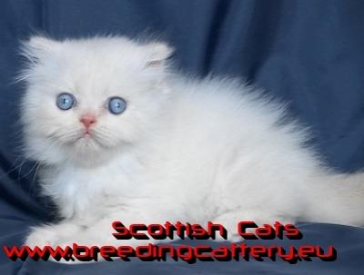 Колорпойнт - дългокосместо котенце