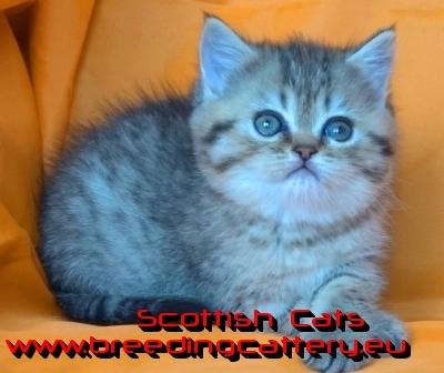 Късокосместо женско шотландско котенце