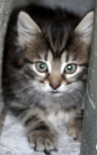 Норвежки горски котенца.