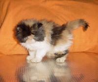 Продавам трицветно и бялo - персийски котета
