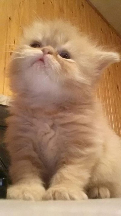 персийска котка