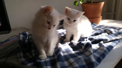 Подаряваме бели котенца