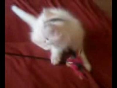 четири ангорски котета