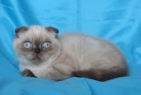 Клепоухо късокосместо котенце със сини очи