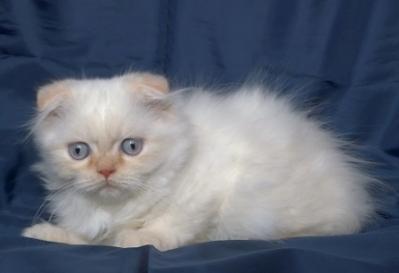 Бяло клепоухо дългокосместо котенце