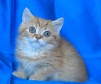 Шотландско късокосместо котенце