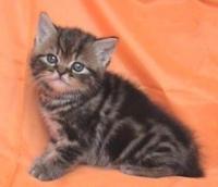 Шотландско късокосместо мъжко котенце
