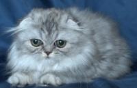 Сребърно клепоухо женско котенце