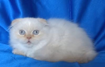 Бяло клепоухо котенце със сини очи
