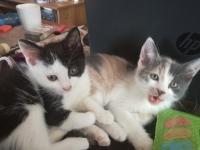 Подарявам 2 женски котета