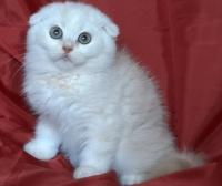 Бежово клепоухо късокосместо котенце