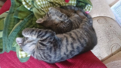 ангорски котета