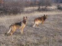 Немска овчарка - доказана пастирка и охранител