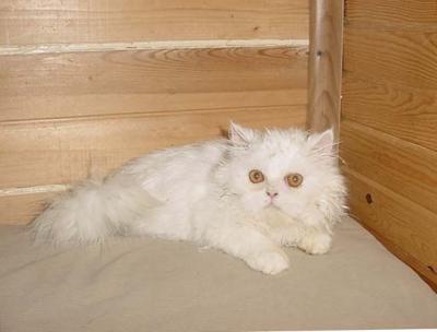 Бяло персийче.