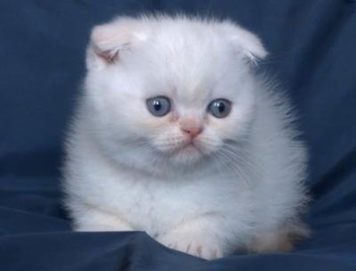 Колорпойнт - клепоухо късокосместо котенце