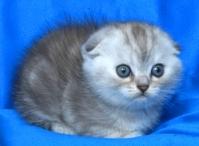 Синьо таби късокосместо женско котенце
