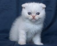 Крем-пойнт клепоухо мъжко котенце