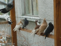 Продавам гълъби на въртене и глас, различни цв