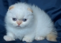 Крем-пойнт клепоухо котенце със сини очи