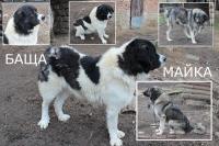 Кученца каракачанска овчарка, 100 лв.