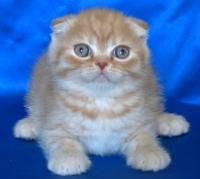Шотландско клепоухо късокосместо котенце