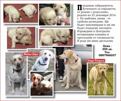 Кученца, породисти, Лабрадор