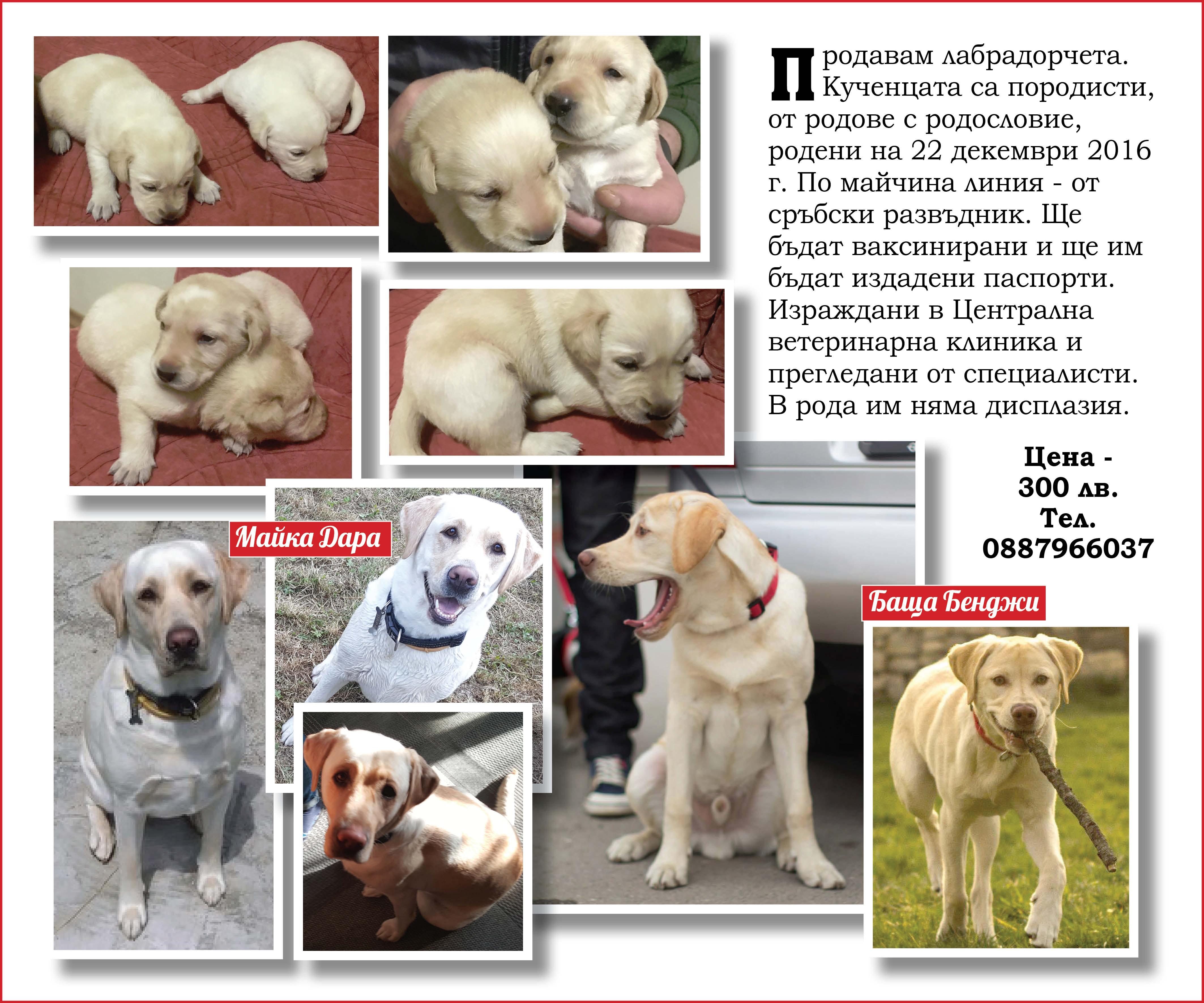 Kuchentsa, porodisti, Labrador
