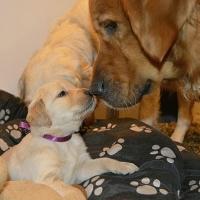 Prodavam krasivi edri bebeta ot porodata Goldy