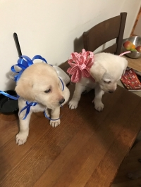 Prodavam labradorcheta