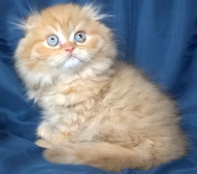 Бежово дългокосместо мъжко котенце