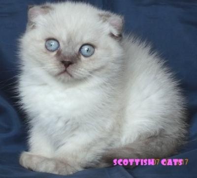 Син - пойнт късокосместо котенце със сини очи