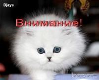 ВНИМАНИЕ! ИЗМАМА! Сребърна чинчила котета Djay