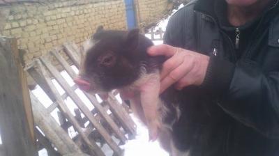 мини-виетнамски прасенца