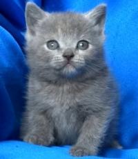 Синьо късокосместо женско котенце