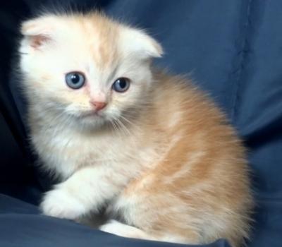Кремаво клепоухо късокосместо котенце