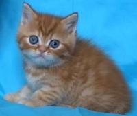 Червено късокосместо мъжко котенце