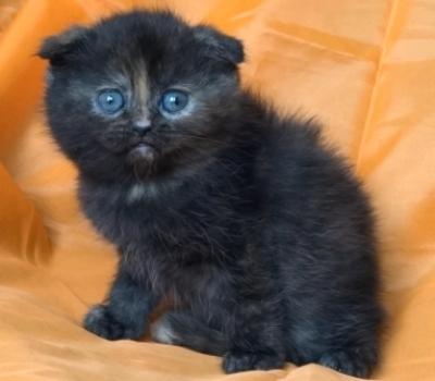 Костенурково клепоухо котенце