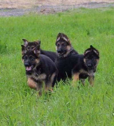 продавам кученца - немска овчарка сродословие