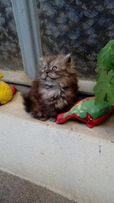 Персийско котенце