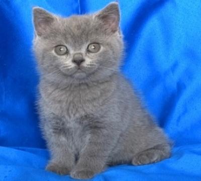Мъжко британско късокосместо котенце